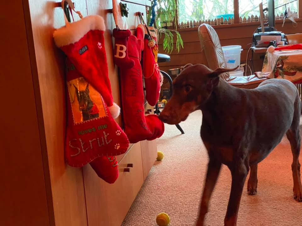 It's stocking time and Strut knows which stocking is his!