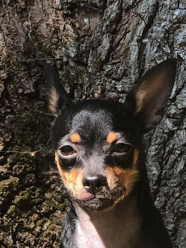 Chihuahua pup sunning
