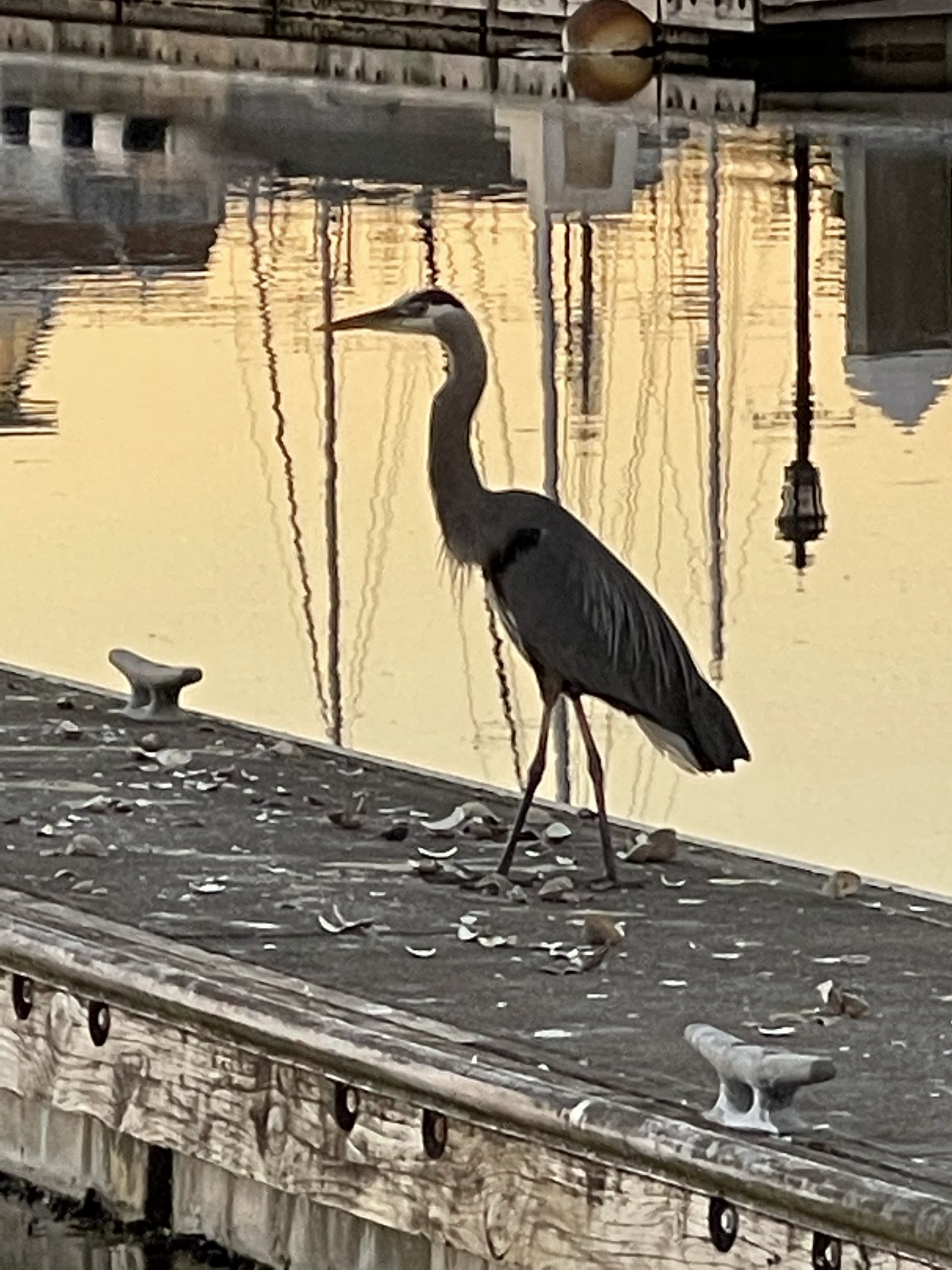 Our neighbor on the dock is a gray heron